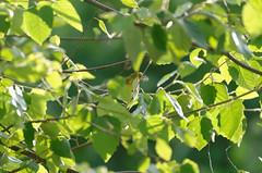 Yellow warbler (timbo on the hill) Tags: nikond7000 summer story indiana remedyranch usa 2016 yellowwarbler tree bird
