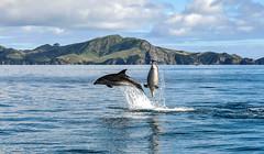 Dolphins having fun (Kiwi-Steve) Tags: nz newzealand northisland bayofislands dolphin bottlenosedolphin nature landscape nikond90 nikon