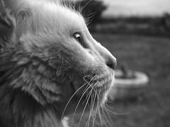 Cleopatra (Mariano Montes | HDsuperbikeVideos) Tags: cleopatra cleo gato gata cat cats photography photographie fotografia bn blanconegro blancoynegro blackwhite blackandwhite bw animales animal macro macrofotografia marianomontes flickr flickrcordoba nikon nikonargentina argentina crdoba
