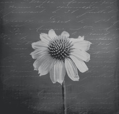 The most colorful thing in the world (Lynne Dohner) Tags: lakemichigan midwestliving naturesart midwestmoment summer summerflower blackandwhite grey monochrome texture