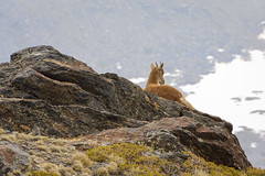 Meditation (kittiabonyi) Tags: ibex iberianibex animal nature wild fauna travel spain andalusia sierranevada