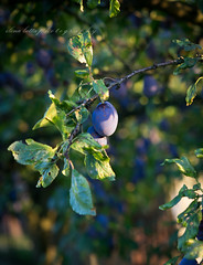 plum tree (beppelena) Tags: plums plumtree fruit nature garden healthy crop greencolor plant leaf foodphotography food foodanddrink freshness elenabottaphotography