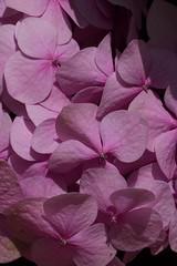 Hortensia (alannarvaeznavarrete) Tags: nature macro colors colores lila lilac morado flores flowers pantone purple hortensia planta plants flower