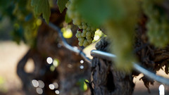 Drip irrigation as a sparkling wine bubbles ... (DreamSlayer) Tags: drip irrigation peneds wine culture
