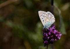 Argus bleu (Gaulthi3r) Tags: argusbleu azurcommun boisdemorval papillon polyommatusicarus proxy
