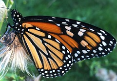 Monarch (Foxy Belle) Tags: monarch butterfly orange insect animal nature plant endangered species north america black white