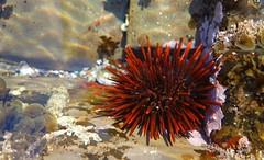Port Kembla Rock Pools (Celeste33) Tags: redseaurchin seaurchin portkemblarockpools portkembla rockpools