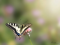 swallowtail (Wilma van Oorschot) Tags: wilmavanoorschot angelphotography olympusem5 olympusomde5 75mm mzuikodigital75mm118 f18 yellowswallowtail swallowtail butterfly papillon dof nature outdoor