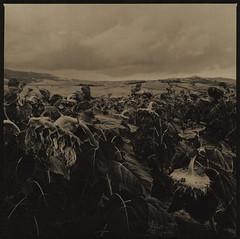 Sunflower field (Antonio's darkroom) Tags: hasselblad kodak trix pyrocathd forte fortezo silk grain se5 moersch lith catechol omega sunflower field