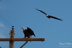 1 of 4 - An aggressor Bald Eagle buzzes another eagle