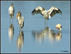 Morning Stretch (Suzanham) Tags: bird nature mississippi wings wildlife waterfowl noxubeerefuge woodstork blufflake samhamiltonnationalwildliferefuge