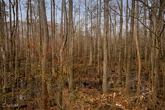 D610_141213_0059w (PhotosByGil) Tags: trees forest forestry swamps swamp forests cypressswamp tupelogumswamp cypressgumswamp