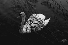 black swan (Mononoke hime ) Tags: blackandwhite bw plants white black love animal canon eos swan young passion 650d photograoher
