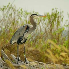 Great Blue Heron (1) (RKop) Tags: a77mk2 704000gssmsony handheld clearwater caladesiislandstatepark florida raphaelkopanphotography 70400gssmsony sony