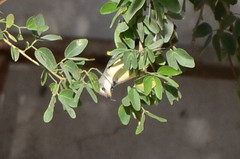 Sun Bird 08 (philjbtorres) Tags: bird yellow photography nikon sunbird yellowbird smallbird yellowbelliedsunbird nikond5100