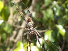 Nephilidae>Nephila edulis Golden Orb spider DSCF5734 (Bill & Mark Bell) Tags: exmouth westernaustralia australia geo:town=exmouth geo:state=westernaustralia geo:country=australia geo:lon=11425453egeolat2217752sgeoalt8m 11425453e2217752salt8m taxonomy:kingdom=animalia animalia taxonomy:phylum=arthropoda arthropoda taxonomy:class=arachnida arachnida taxonomy:order=araneae araneae taxonomy:family=nephilidae nephilidae taxonomy:genus=nephila nephilas goldenorbspider taxonomycommonnamegoldenorbspider spider animal fauna