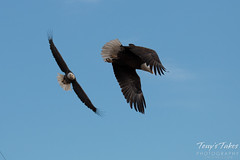 7 of 8 - Bald Eagle chases off another eagle