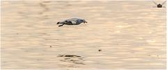 Black Headed Gull - 8 (tathagata.chakraborty1) Tags: india black gull varanasi headed ganges ghats