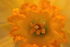 Daffodil from the Inside (Gabriel FW Koch) Tags: orange flower macro nature closeup canon eos bokeh daffodil