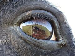 Seldon Woods- Horses Eye (MayaMcB) Tags: camera horses horse reflection green eye grass woodland woods eyelashes pony ponies seldon lense curvature dschx300