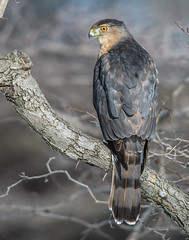 Cooper's Hawk 4 (Jan Crites) Tags: winter birds illinois nikon hawk sigma raptor perched wheaton cantigny coopershawk d610 cantignypark 150500 jancritesphotography