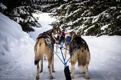 Dog sledding huskies (josefrancisco.salgado) Tags: dog snow france fauna nikon europa europe nieve perro nikkor fr dogsled d4 rhnealpes megve 2470mmf28g trineodeperros