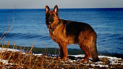 Winter Wolf (Viv Lynch) Tags: winter red dog toronto ontario canada cold ice beach dogs frozen samsung greatlakes beaches scarborough harris lakeontario germanshepherd rc gsd eastyork easttoronto galaxys5