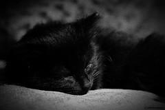 Sleepy Bragi (Gav Justice) Tags: sleeping pet cat kitten sleepy tired