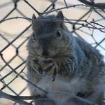 Squirrels at the University of Michigan (March 11, 2015) thumbnail