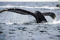The Tail (comradavid) Tags: mexico cabo whale baja