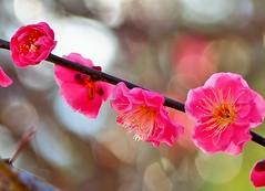 2015.02.11 Almost Spring ! (eriko_jpn) Tags: pinkflower plumblossom prunusmume