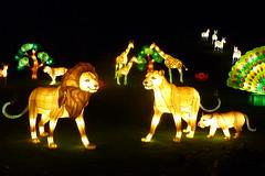 Lions - China Light - Antwerp Zoo (Christine P.v.B.) Tags: zoo belgium belgique illuminations lion belgi antwerp antwerpen anvers flanders leeuw vlaanderen verlichting flandre lichtkunst chinalight