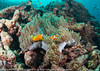 Amphiprion nigripes - poisson-clown des Maldives - Maldive anemonefish  03.jpg