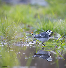Pied Wagtail Reflection (Montacilla alba) (Explored) (Adam_Walters) Tags: reflection wildlife explore british pied wagtail