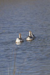 IMG_7729 (armadil) Tags: bird birds oregon duck spring ducks eugene deltapond