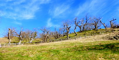 P1000055y (gzammarchi) Tags: italia nuvola natura albero montagna paesaggio camminata castagneto itinerario rapezzo firenzuolafi