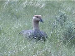 Upland Goose on Nest
