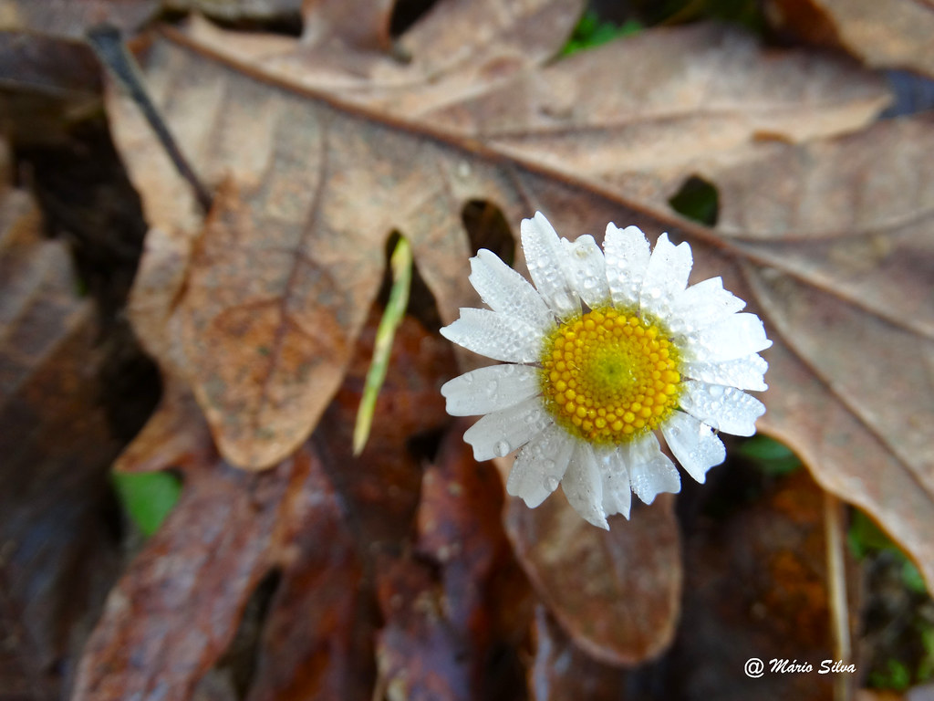 Águas Frias (Chaves) - ... a flor branca orvalhada ...
