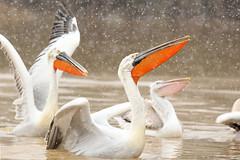 Pelecanus crispus  Dalmatian Pelican (Roger Wasley) Tags: snow birds greece pelecanuscrispus dalmatianpelican lakekerkini