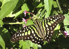 Tailed Jay (Graphium agamemnon) at Fairchild Tropical Botanic Gardens, Wings of the Tropics
