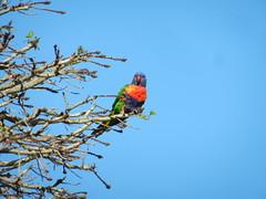 A rainbow lorikeet in Kings Park in Perth (sander_sloots) Tags: parakeet kingspark perth australia australie parkiet vogel lorikeet rainbow
