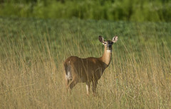 Early Morning Doe (a56jewell) Tags: a56jewell doe deer mornoing grasses july