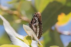 IMG_4493.jpg Lorquin's Admiral butterfly, Schwan Lake (ldjaffe) Tags: schwanlake butterflies