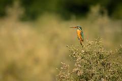 Vantage point (malc1702) Tags: kingfisher birds nature outdoor wildlife birdonaperch vegetation nikond7100 tamron150600 flickrunitedaward
