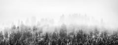 Mystical Trees (pellwood41) Tags: trees snow mist evergreen mystical black white