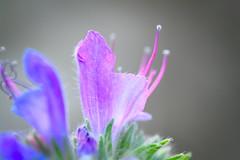 Flower (oliko2) Tags: flower macro closeup germany freiburg airfield softtones sigma90mmf28 nikond7100