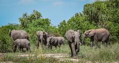 Uganda-1640 (EbE_inspiration) Tags: africa wild baby elephant green nature animal nikon outdoor safari elephants uganda wildlifeafrica