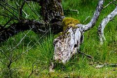 Inge Hoogendoorn (ingehoogendoorn) Tags: horse horsehead skeleton treewithface treeface boom bomen dodeboom deadhorse paard paardenhoofd paardenkop nature amsterdamsewaterleidingduinen waterleidingduinen skull cowskull horseskull