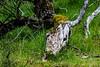 © Inge Hoogendoorn (ingehoogendoorn) Tags: horse horsehead skeleton treewithface treeface boom bomen dodeboom deadhorse paard paardenhoofd paardenkop nature amsterdamsewaterleidingduinen waterleidingduinen skull cowskull horseskull