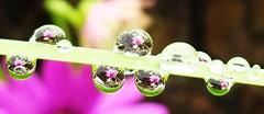 Rain again! (cocopie) Tags: rain garden waterdrops stirlingshire
